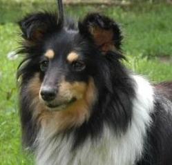 Gyver, chien Berger des Shetland