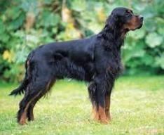 Gyzhmo, chien Setter Gordon