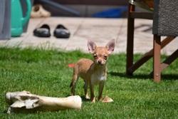 Gyzmo, chien Chihuahua