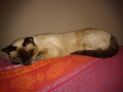 Gzena, chat Européen