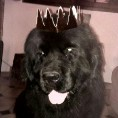 Gzena, chien Terre-Neuve