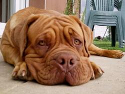 Gzéna, chien Dogue de Bordeaux