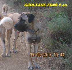 Gzoltane Fd4s , chien Berger d'Anatolie