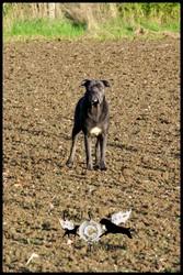 H'Arena, chien Cane Corso