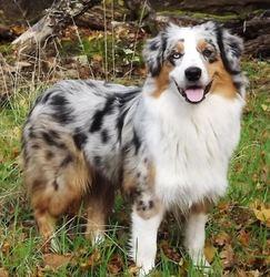 H'Arwen, chien Berger australien