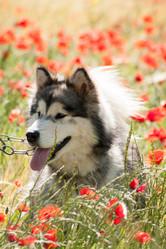 H'Avalon, chien Malamute de l'Alaska