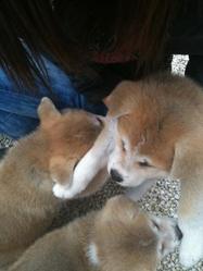 H'ayumi, chien Akita Inu