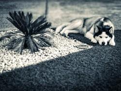 Héria, chien Husky sibérien