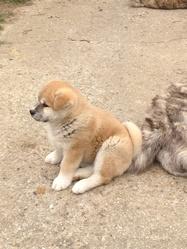 H'ebisu, chien Akita Inu