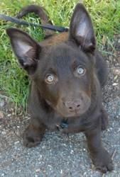 H'Iyotan, chien Kelpie