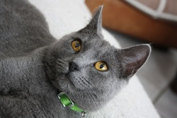 H'Izzies Des Bords De Lys , chat Chartreux