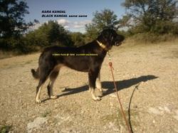 H Kara Yilan Kara Kangal, chien Berger d'Anatolie