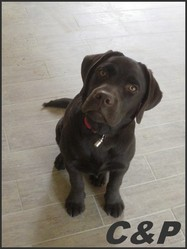 H'Kiara, chien Labrador Retriever