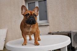 H'Lea, chien Bouledogue français