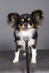 H'Olé, chien Chihuahua