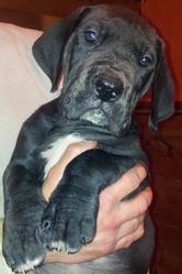 H'Pogo, chien Dogue allemand