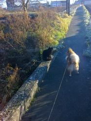 H'Sam, chien Berger des Shetland