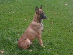H'Tone, chien Berger belge