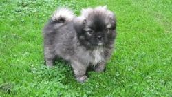 Haang, chien Épagneul tibétain
