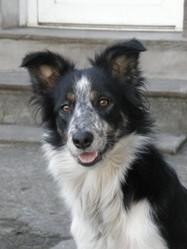 Haaren, chien Border Collie