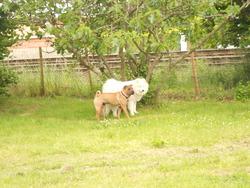 Haaron, chien Samoyède