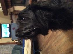 Habby, chien Affenpinscher