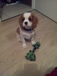 Habby, chien Cavalier King Charles Spaniel