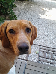 Habby, chien Teckel