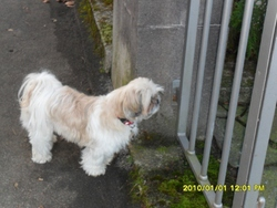 Habby, chien Shih Tzu