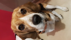 Habby, chien Beagle