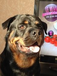 Habrouck, chien Rottweiler