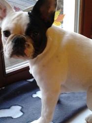 Haby, chien Bouledogue français