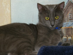 Haby, chat Chartreux