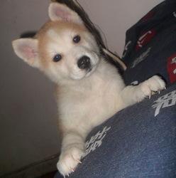 Hachika, chien Akita Inu
