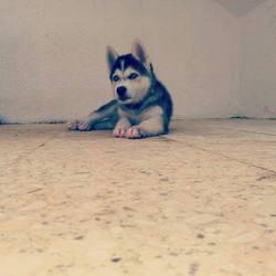 Hachiko, chien Husky sibérien