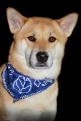 Hachiko, chien Shiba Inu