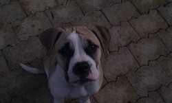 Hachley, chien Bulldog