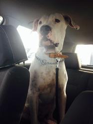 Hachyle, chien Dogue argentin