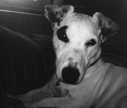 Haddock, chien