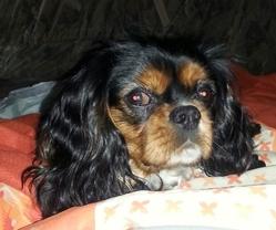 Haddock, chien Cavalier King Charles Spaniel