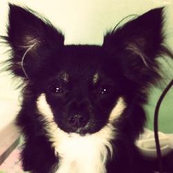Hadès, chien Chihuahua