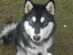 Hadès, chien Malamute de l'Alaska