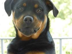 Hades, chien Rottweiler
