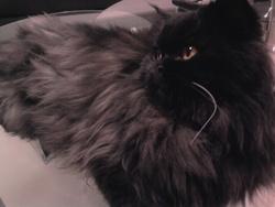 Hadès, chat Persan