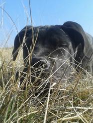 Hades, chien Cane Corso