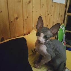 Hadès, chaton Sphynx