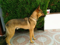 Hades, chien Berger belge