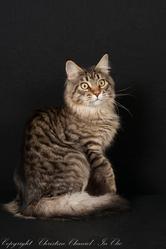 Hadès De L'Ile De Tiaré, chat Maine Coon