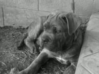Hadés Et Hogan, chien Cane Corso