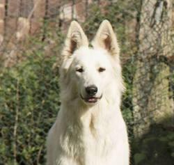 Hadès Of Trebons Berger Blanc, chien Berger blanc suisse